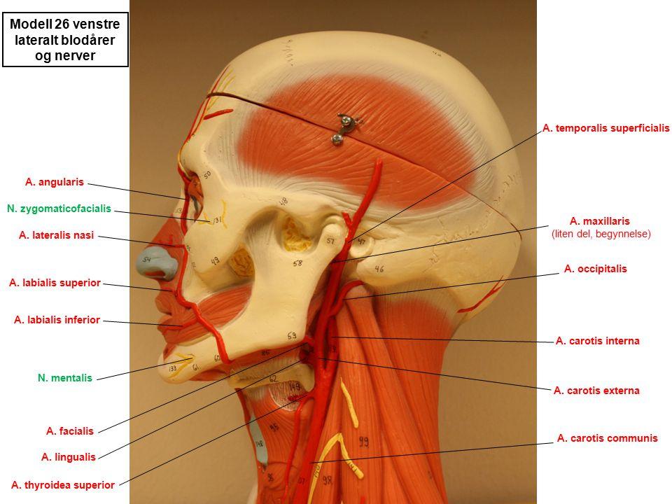 lateralt blodårer og nerver A. temporalis superficialis