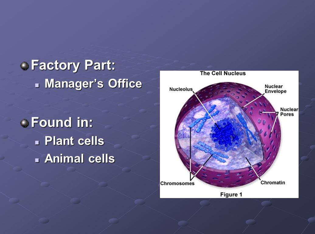 Factory Part: Manager's Office Found in: Plant cells Animal cells