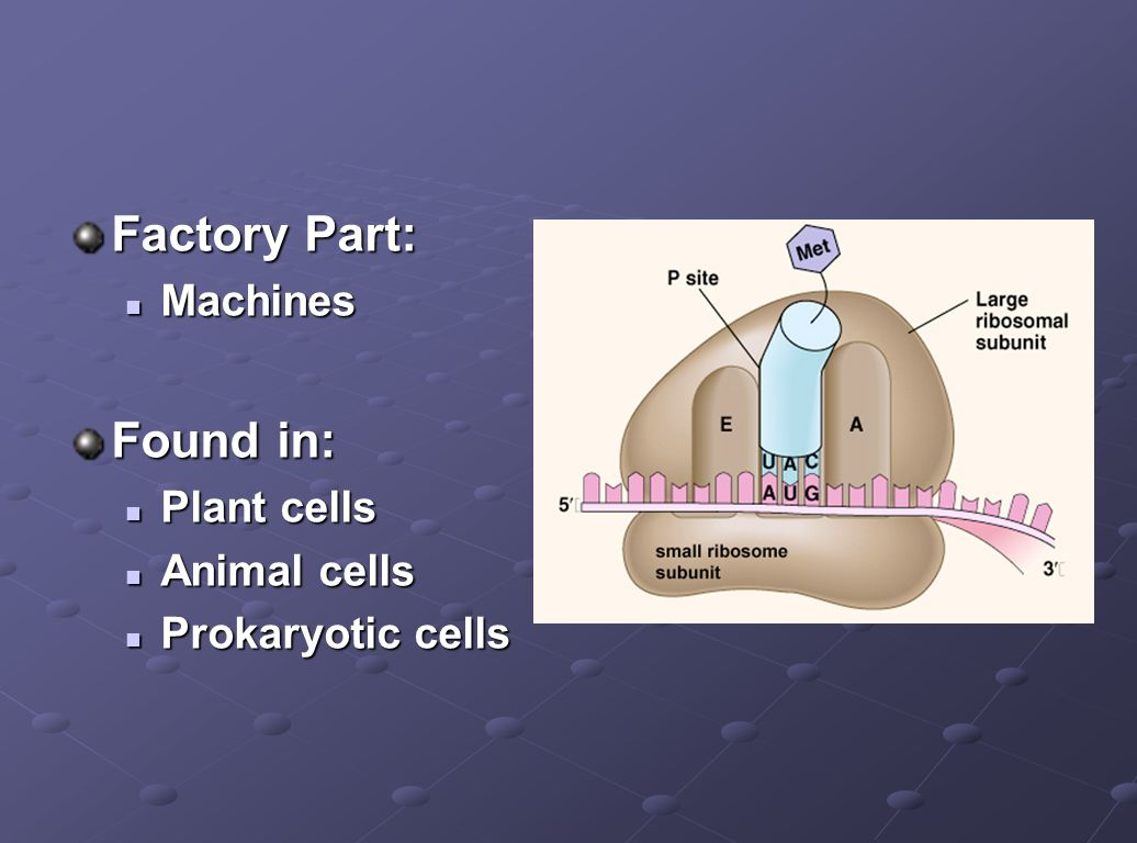 Factory Part: Found in: Machines Plant cells Animal cells