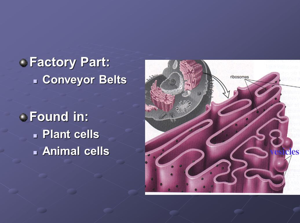 Factory Part: Conveyor Belts Found in: Plant cells Animal cells