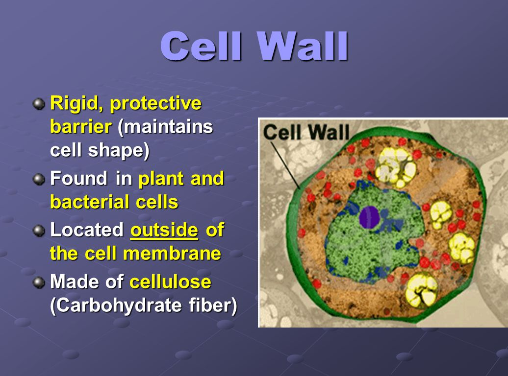 Cell Wall Rigid, protective barrier (maintains cell shape)