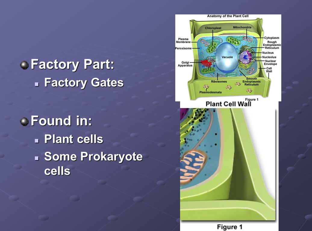 Factory Part: Found in: Factory Gates Plant cells