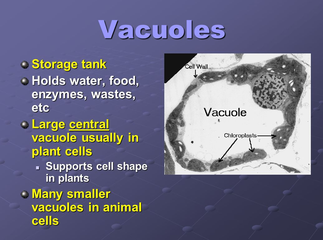 Vacuoles Storage tank Holds water, food, enzymes, wastes, etc