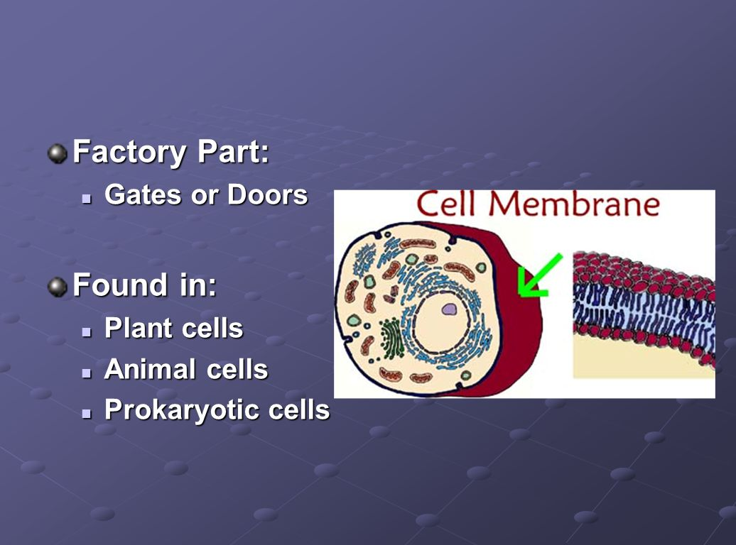 Factory Part: Found in: Gates or Doors Plant cells Animal cells