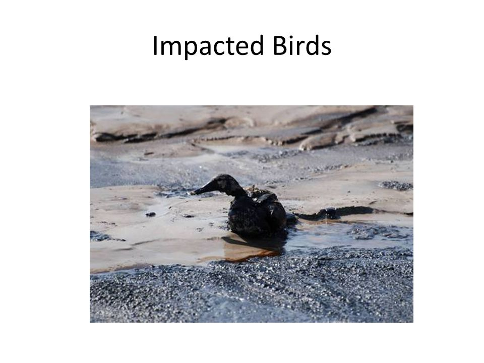 Impacted Birds