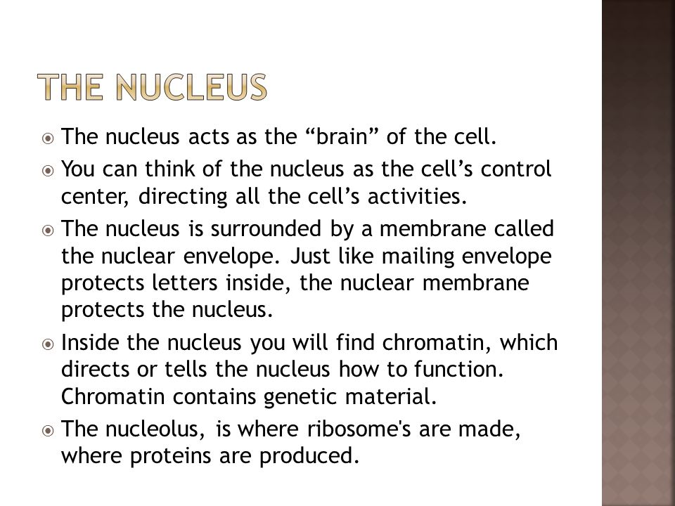 The Nucleus The nucleus acts as the brain of the cell.