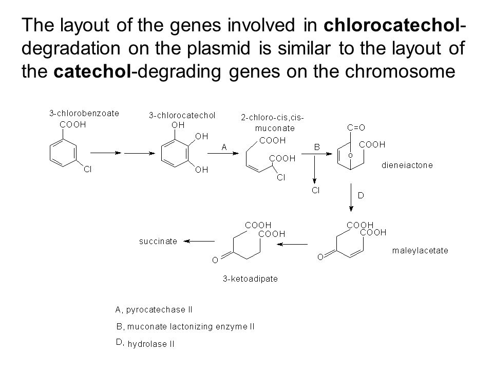 The layout of the genes involved in chlorocatechol-degradation on the plasmid is similar to the layout of the catechol-degrading genes on the chromosome