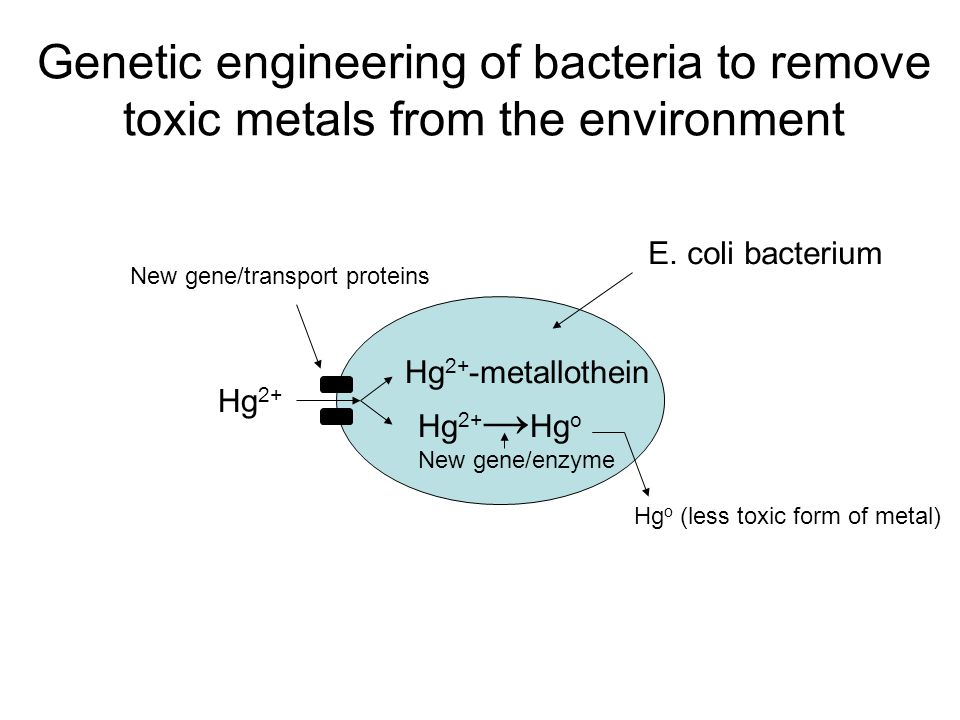 Genetic engineering of bacteria to remove toxic metals from the environment
