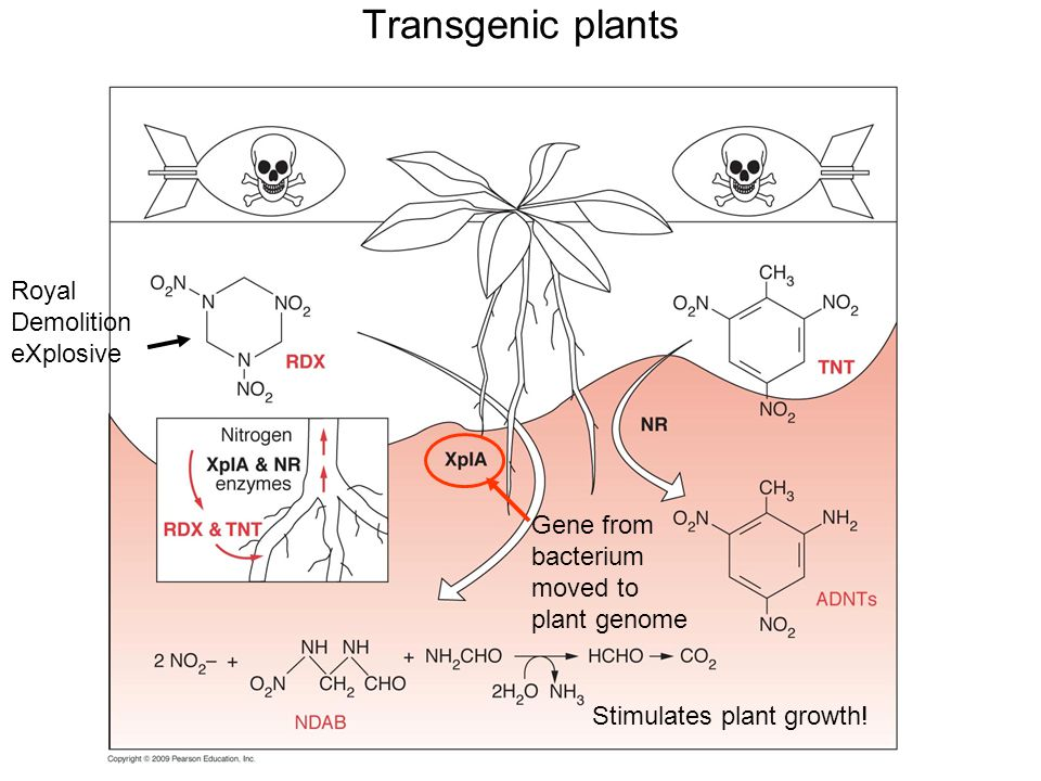 Transgenic plants Royal Demolition eXplosive Gene from bacterium