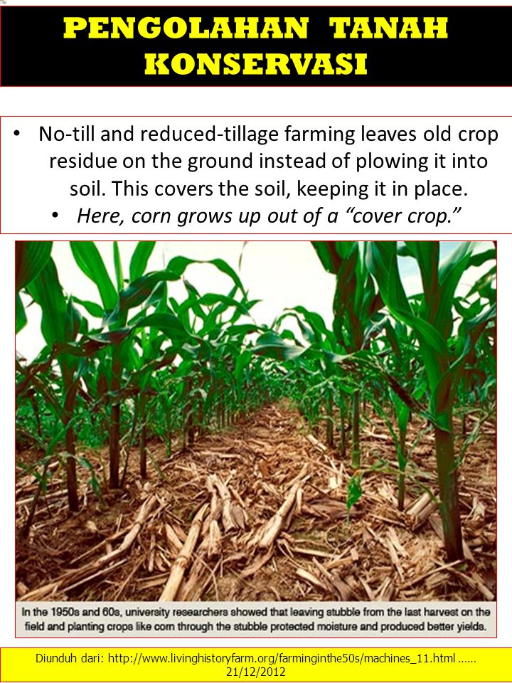 Here, corn grows up out of a cover crop.