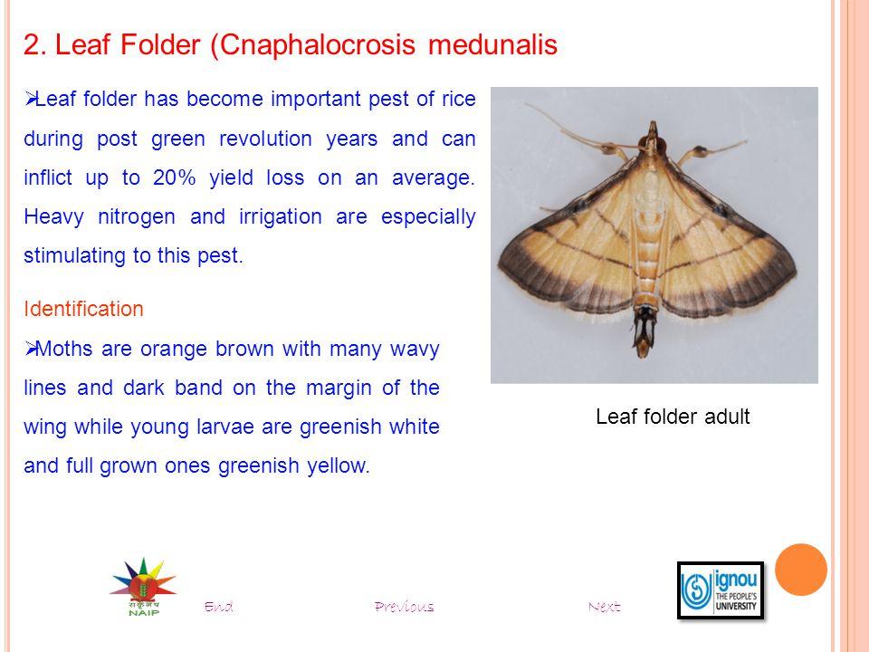 2. Leaf Folder (Cnaphalocrosis medunalis
