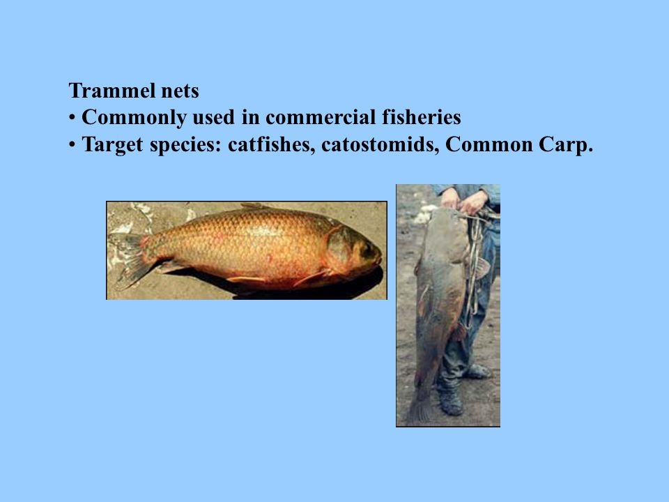 Trammel nets • Commonly used in commercial fisheries.