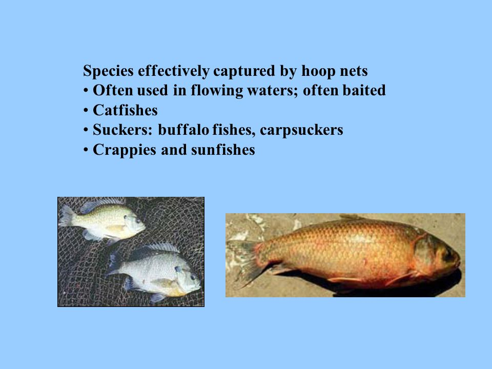 Species effectively captured by hoop nets