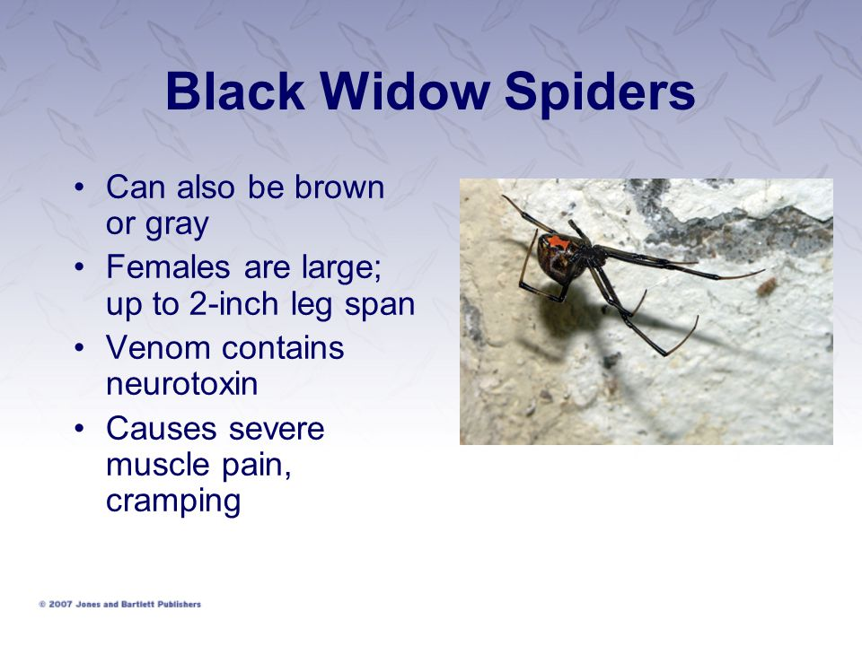 Black Widow Spiders Can also be brown or gray