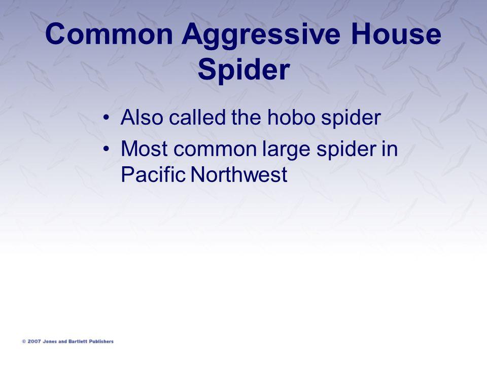 Common Aggressive House Spider