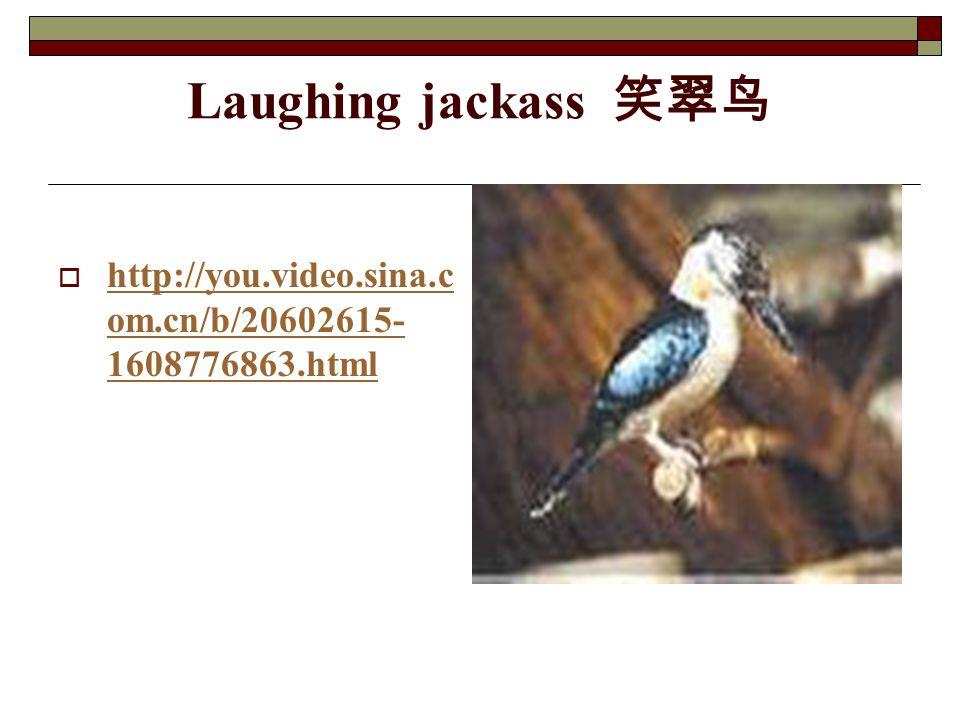 Laughing jackass 笑翠鸟 http://you.video.sina.com.cn/b/20602615-1608776863.html