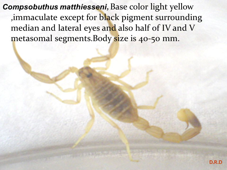 Compsobuthus matthiesseni, Base color light yellow ,immaculate except for black pigment surrounding median and lateral eyes and also half of IV and V metasomal segments.Body size is 40-50 mm.