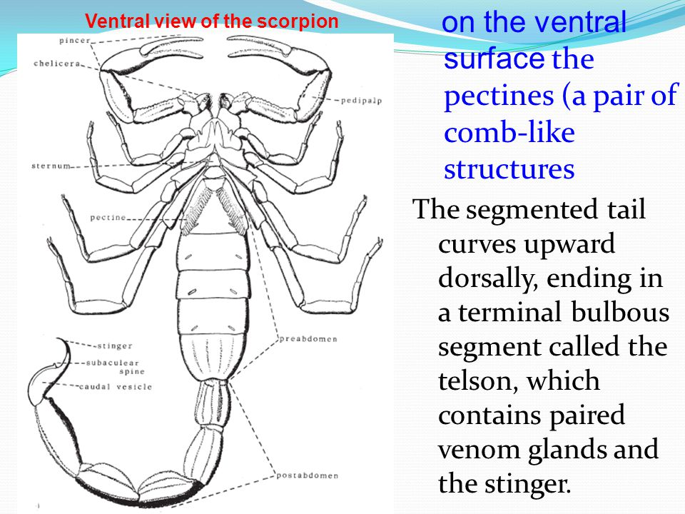 on the ventral surface the pectines (a pair of comb-like structures