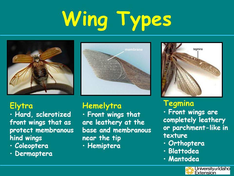 Wing Types Tegmina Elytra Hemelytra