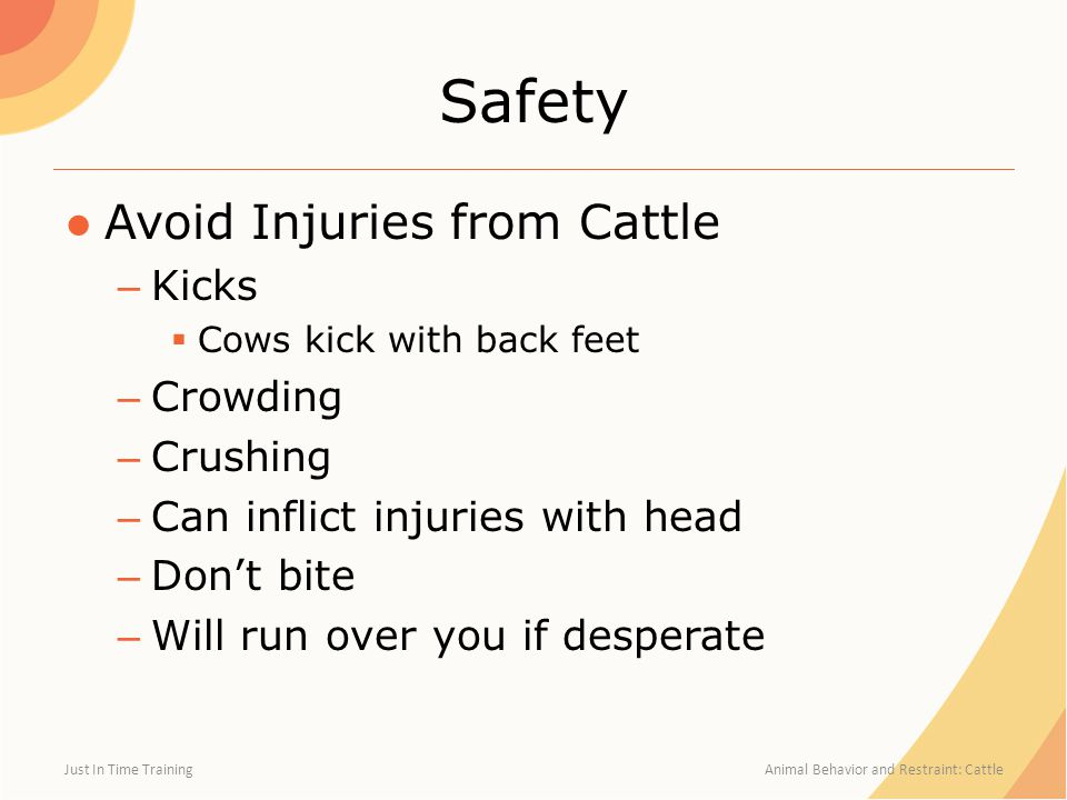 Safety Avoid Injuries from Cattle Kicks Crowding Crushing