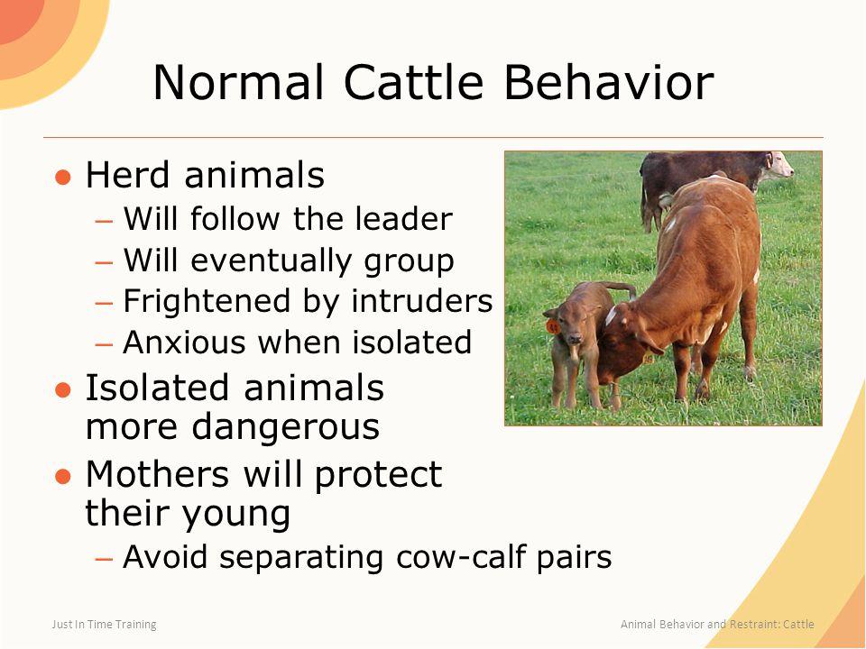 Normal Cattle Behavior