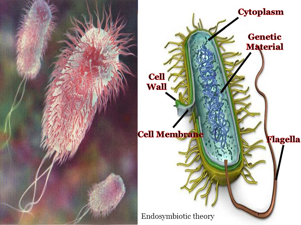 Cytoplasm Genetic Material Cell Wall Cell Membrane Flagella