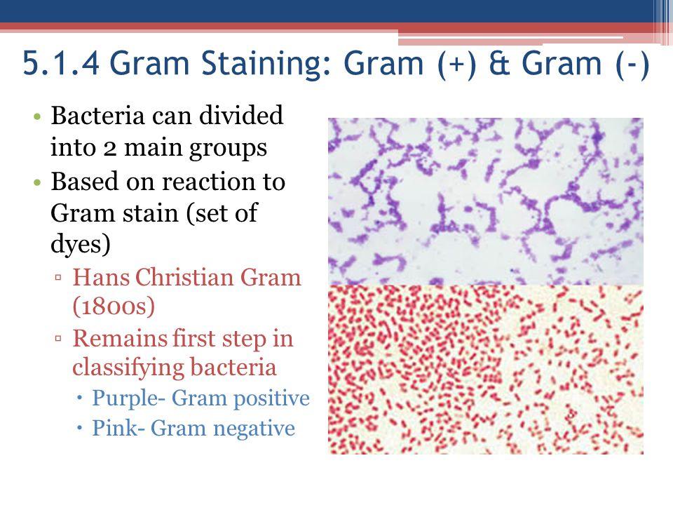 5.1.4 Gram Staining: Gram (+) & Gram (-)