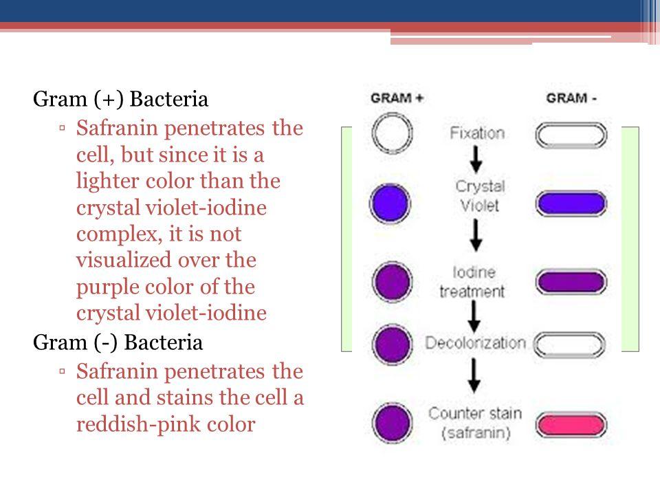Gram (+) Bacteria