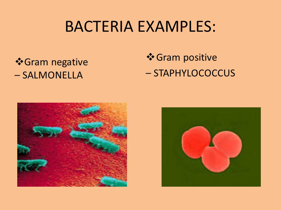 BACTERIA EXAMPLES: Gram positive Gram negative – STAPHYLOCOCCUS