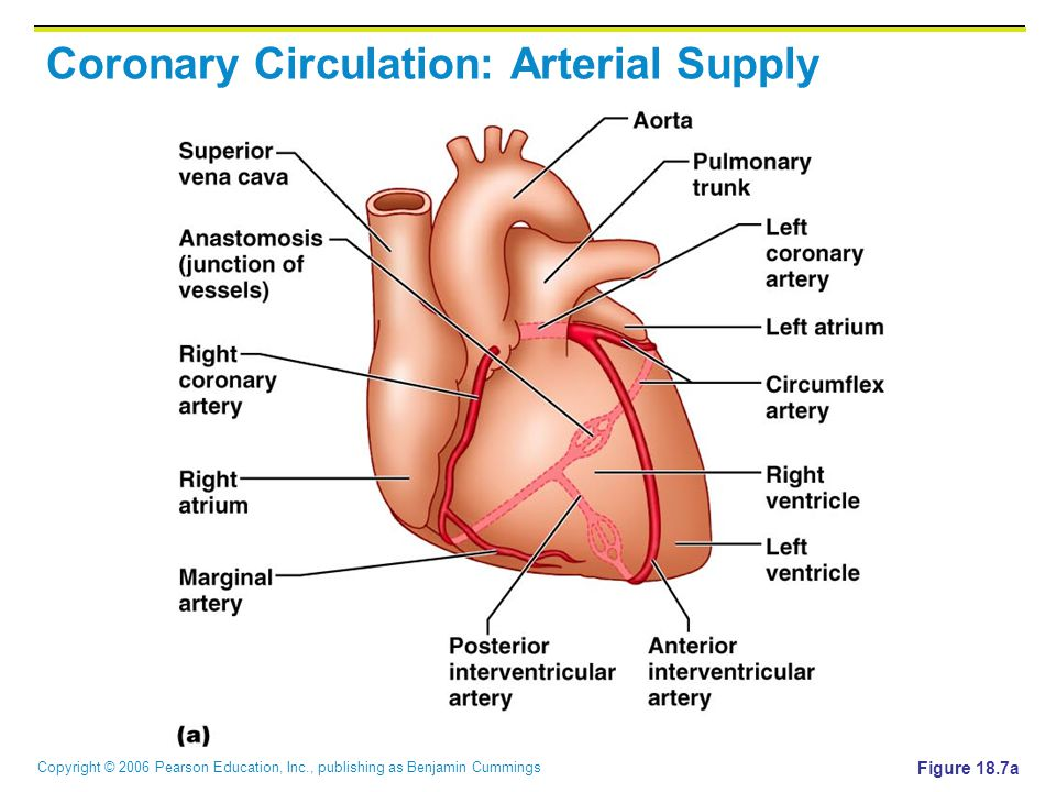 Coronary Circulation: Arterial Supply