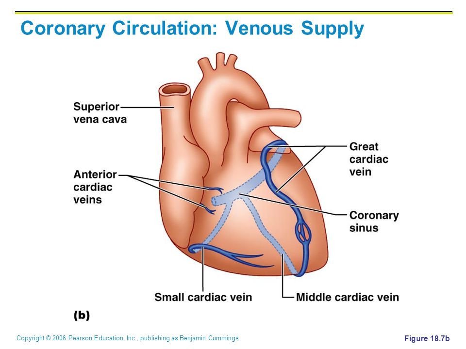 Coronary Circulation: Venous Supply