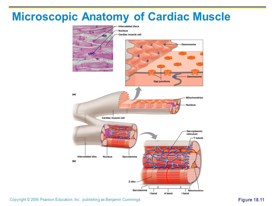 Microscopic Anatomy of Cardiac Muscle
