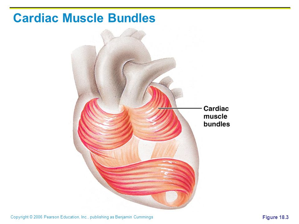 Cardiac Muscle Bundles