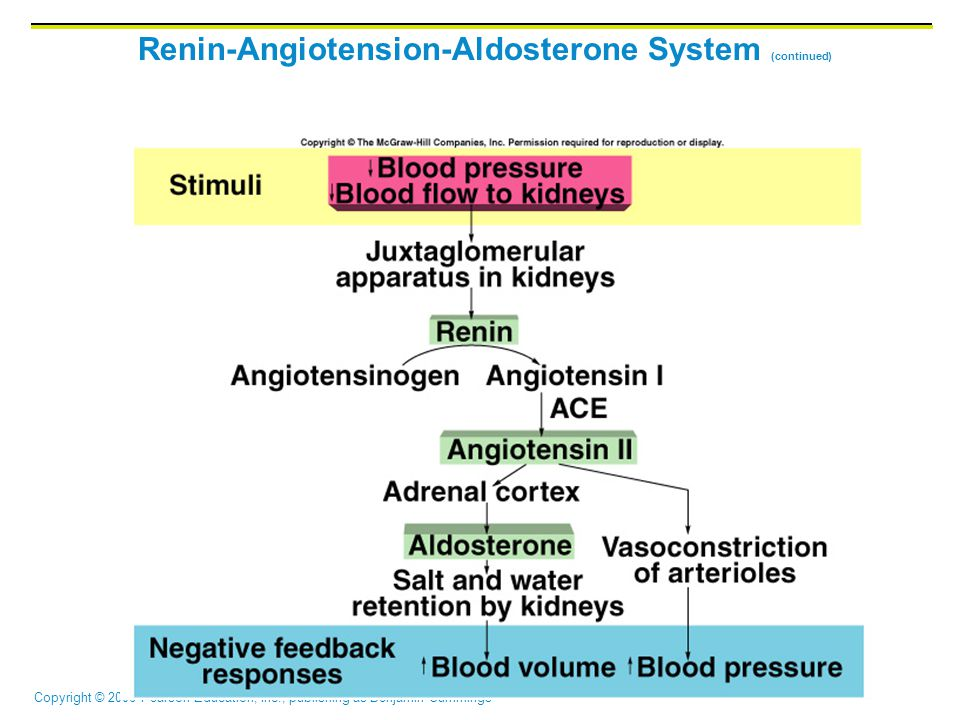 Renin-Angiotension-Aldosterone System (continued)