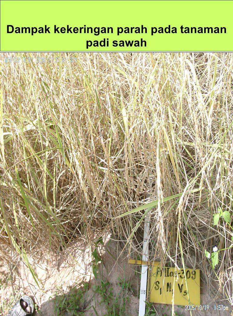 Dampak kekeringan parah pada tanaman padi sawah