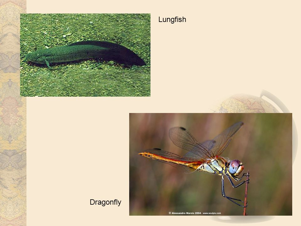 Lungfish Dragonfly