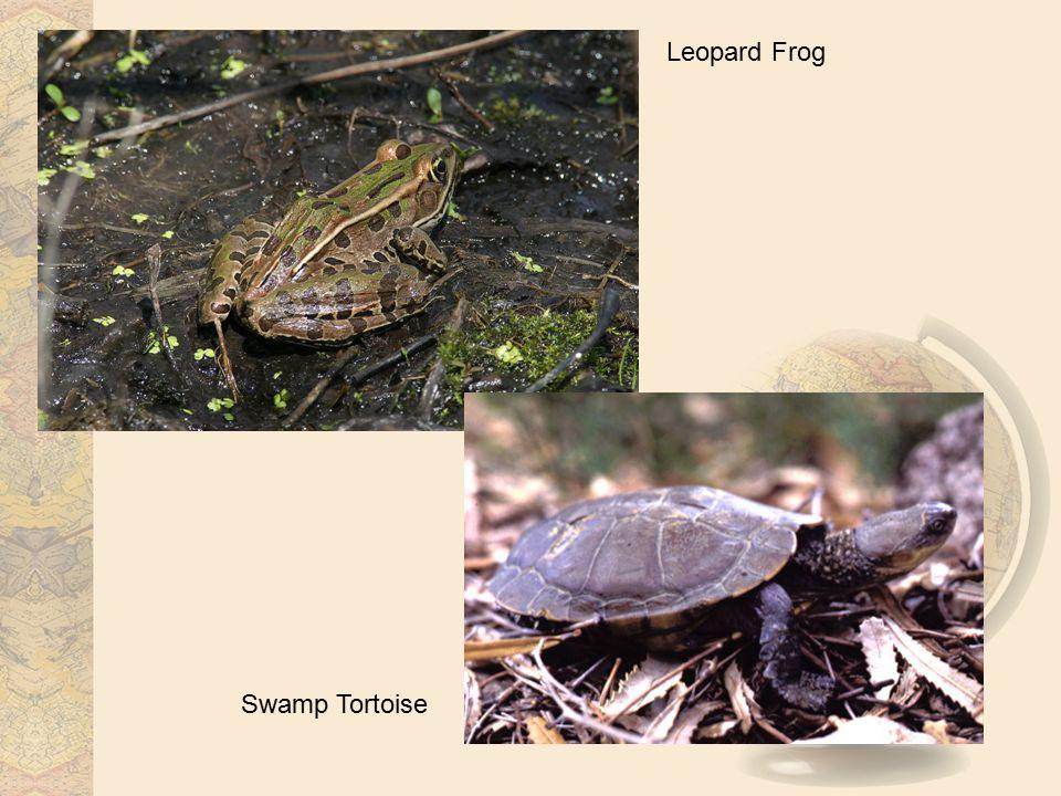 Leopard Frog Swamp Tortoise