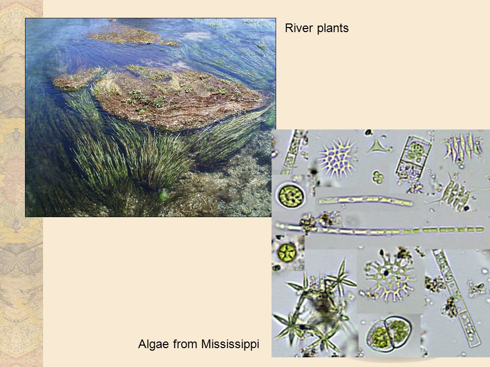 River plants Algae from Mississippi