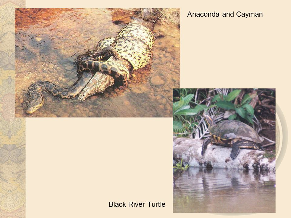 Anaconda and Cayman Black River Turtle