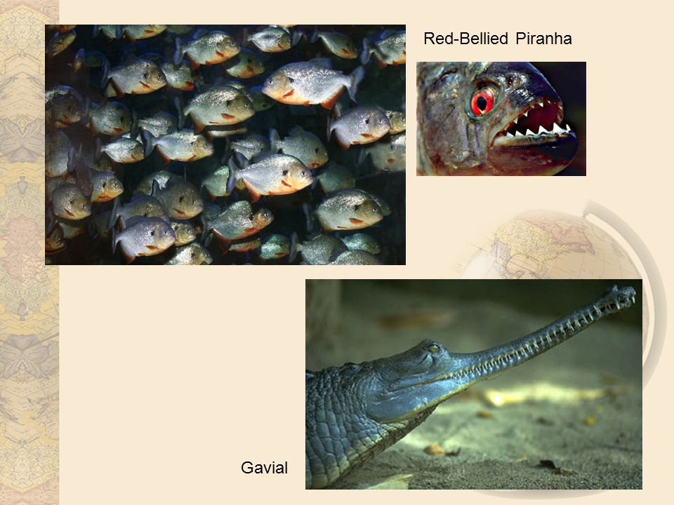 Red-Bellied Piranha Gavial
