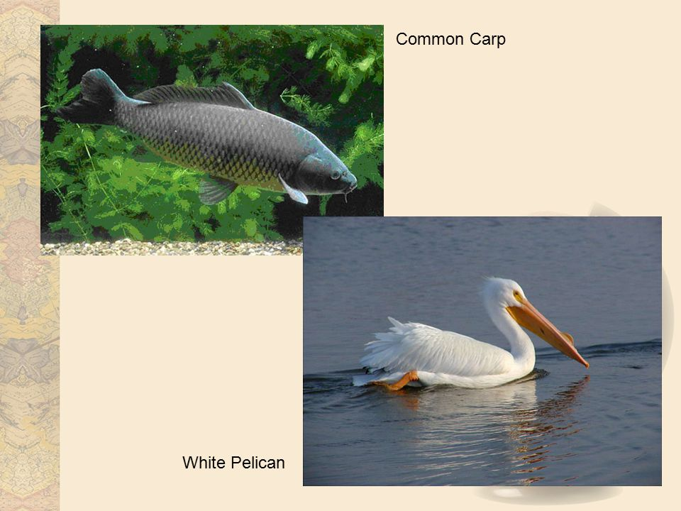 Common Carp White Pelican