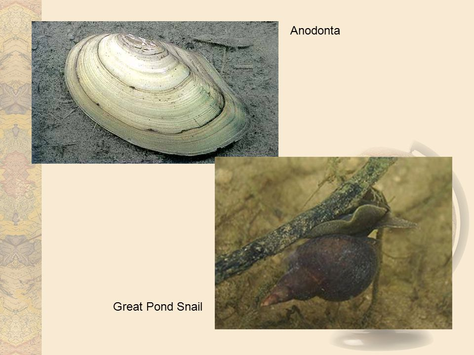 Anodonta Great Pond Snail