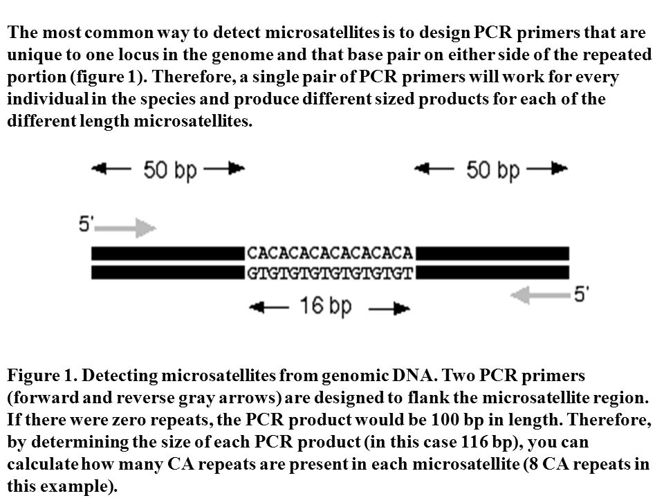 The most common way to detect microsatellites is to design PCR primers that are unique to one locus in the genome and that base pair on either side of the repeated portion (figure 1). Therefore, a single pair of PCR primers will work for every individual in the species and produce different sized products for each of the different length microsatellites.