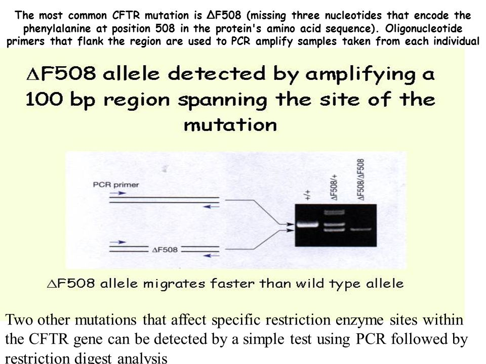 The most common CFTR mutation is ∆F508 (missing three nucleotides that encode the phenylalanine at position 508 in the protein s amino acid sequence). Oligonucleotide primers that flank the region are used to PCR amplify samples taken from each individual to determine if they carry this particular mutation.