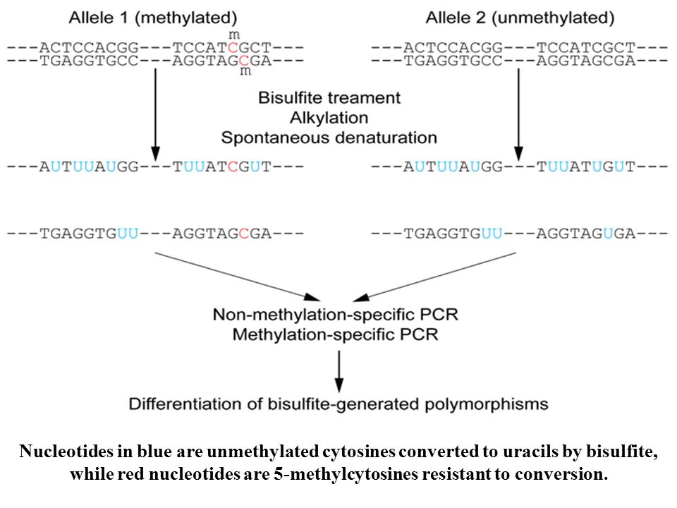 Nucleotides in blue are unmethylated cytosines converted to uracils by bisulfite, while red nucleotides are 5-methylcytosines resistant to conversion.