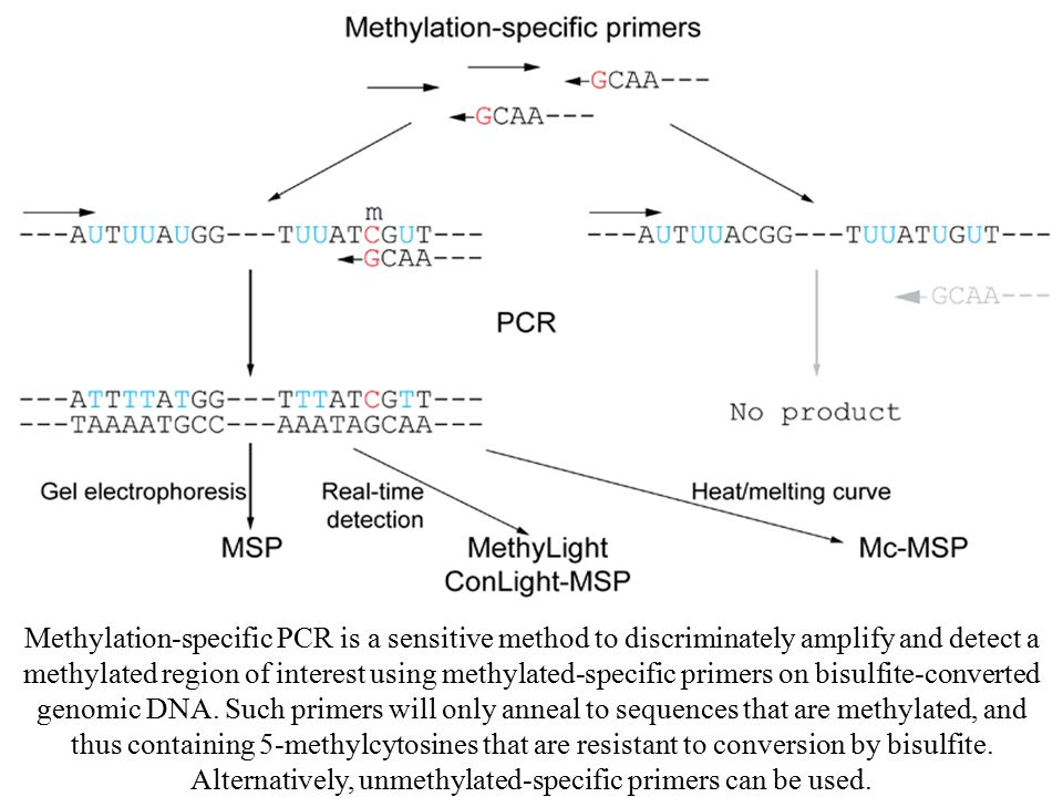Methylation-specific PCR is a sensitive method to discriminately amplify and detect a methylated region of interest using methylated-specific primers on bisulfite-converted genomic DNA.
