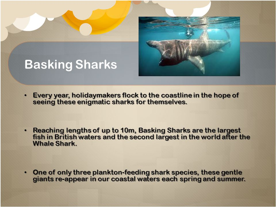 Basking Sharks Every year, holidaymakers flock to the coastline in the hope of seeing these enigmatic sharks for themselves.