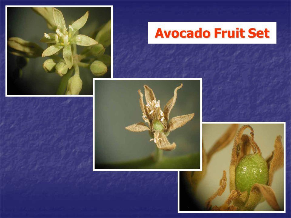 Avocado Fruit Set