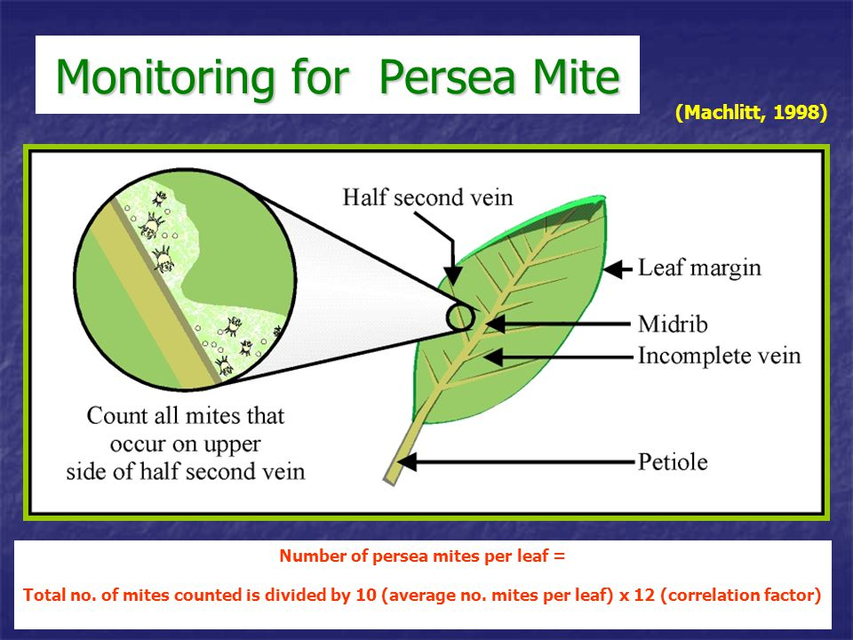Monitoring for Persea Mite