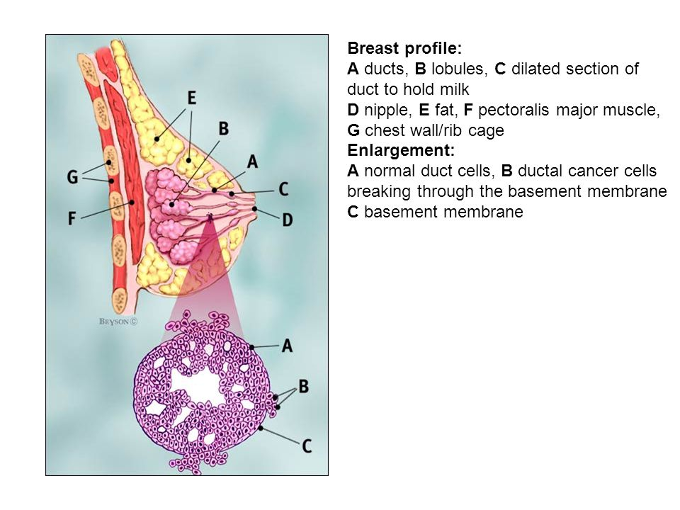 Breast profile: A ducts, B lobules, C dilated section of duct to hold milk. D nipple, E fat, F pectoralis major muscle, G chest wall/rib cage.